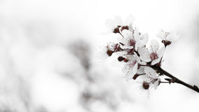 Hoher Schlüssel-Pinky Cherry Blossom Stockfoto