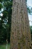 Hoher tropischer Baum Stockfotografie