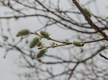 Hoher und selektiver Fokus des Abschlusses von Niederlassung Weide oder Salix caprea mit den Knospen, die im Vorfrühling, Plana-B Stockfoto