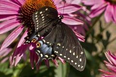 Hoher Winkel Swallowtail-Schmetterlinges auf Echinaceablume lizenzfreie stockfotografie