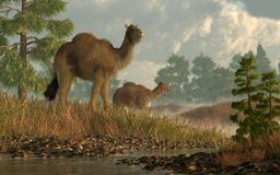 Hohes arktisches Kamel lizenzfreie abbildung