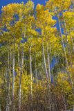 Hohes Aspen Grove-inSunshine lizenzfreies stockfoto