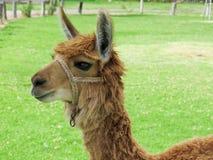 Hohes des Lamas nahes, heiliges Tal, Machu Picchu, Cuzco, Peru Stockfoto