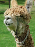 Hohes des Lamas nahes, heiliges Tal, Machu Picchu, Cuzco, Peru Lizenzfreie Stockfotos