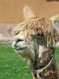 Hohes des Lamas nahes, heiliges Tal, Machu Picchu, Cuzco, Peru Lizenzfreies Stockfoto