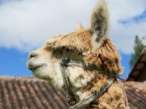 Hohes des Lamas nahes, heiliges Tal, Machu Picchu, Cuzco, Peru Stockbild