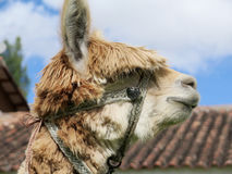 Hohes des Lamas nahes, heiliges Tal, Machu Picchu, Cuzco, Peru Stockfotografie