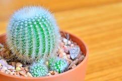 Hohes Detail der Kaktusnahaufnahme Stockbilder