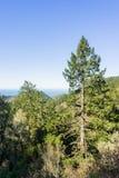 Hohes Douglas Fir Pseudotsuga-menziesii auf den Küstenhügeln von San- Francisco Bayhalbinsel, Kalifornien stockfotografie