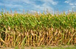 Hohes Feld von Mais bereit zur Ernte Stockbild