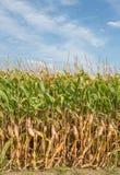 Hohes Feld von Mais bereit zur Ernte in der Vertikale Stockfoto