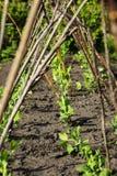 Hohes Gartenbett mit Gitter für Erbsen Stockfotos