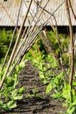Hohes Gartenbett mit Gitter für Erbsen Lizenzfreies Stockfoto