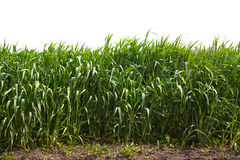 Hohes grünes Gras Stockfoto