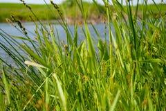 Hohes grünes Gras im Frühjahr auf dem See Stockbild