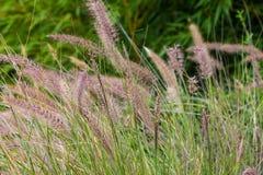 Hohes grünes Gras mit Samenhülsen lizenzfreie stockbilder