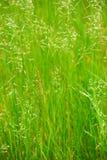 Hohes Gras Stockbilder