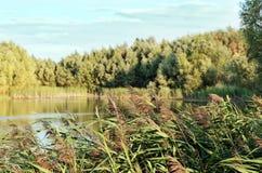 Hohes Gras auf dem See Stockbild