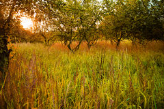 Hohes Gras bei Sonnenaufgang Lizenzfreie Stockfotos
