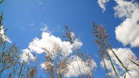 Hohes Gras, das in Wind gegen den Hintergrund des schönen Himmels beeinflußt stock video footage