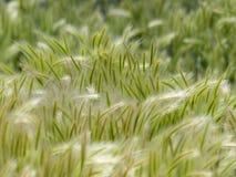 Hohes Gras an einem windigen Tag stockbilder