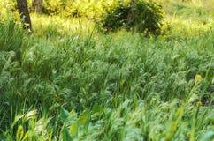 Hohes Gras im Holz Lizenzfreies Stockfoto