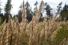 Hohes Gras im Sonnenlicht, das in den Wind wellenartig bewegt Lizenzfreie Stockbilder