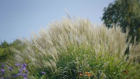Hohes Gras im Wind Seitenschuß bei Sonnenuntergang Natürlicher Hintergrund mit träumerischer Atmosphäre stock video