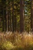 Hohes Gras mit Bäumen Stockfotografie
