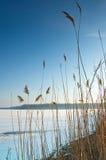 Hohes Gras am Rand eines gefrorenen Sees Stockbilder