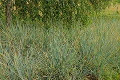 Hohes Gras und Birkenzweige mit Blättern Stockbilder