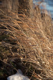 Hohes Graslandgras, das im starken Wind im Winter durchbrennt stockfotografie