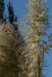 hohes Pampasgras, das im Sommersonnenlicht blüht stockfotos