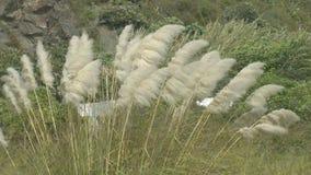 Hohes Pampasgras, das im Wind durchbrennt stock video