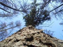 Hohes pinesin der Frühlingswald Lizenzfreie Stockfotos