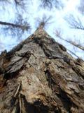 Hohes pinesin der Frühlingswald Stockbild