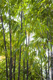Hohes schwarzer Bambus-Wachsen Stockfotografie