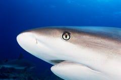 Hohes Treffen des karibischen Riffhaifisch-Abschlusses Stockbilder