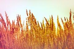 Hohes trockenes Gras Stockbild