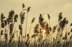 Hohes trockenes Gras im Wind vor warmem Sonnenuntergang stockfotografie