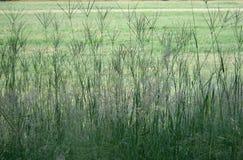 HOHES TUFTY-GRAS lizenzfreies stockfoto