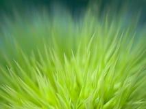 Hohes Vergrößerungsmakro der grünen Kastanie Stockfotos