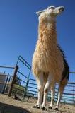 Hohes weißes und braunes Lama Lizenzfreie Stockfotografie