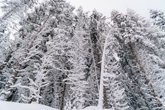 Hohes Winterbaumweiß des Schnees Stockfotos