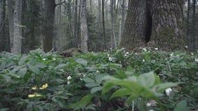Hohler Baum im feenhaften Wald stock video footage