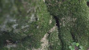 Hohler Baum im feenhaften Wald stock video