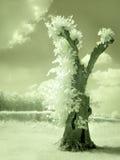 Hohler Baum im Infrarot Stockbild