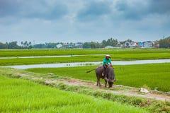 HOI, VIETNAM - MAART 17, 2017: De mens in Vietnam berijdt vaak de waterbuffel terwijl het hoeden van hen Royalty-vrije Stock Afbeelding