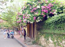 Magenta and white bougainvillea at a house gate in Hoi An royalty free stock photography
