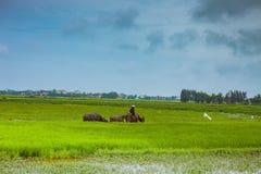 HOI WIETNAM, MARZEC, - 17, 2017: Mężczyzna w Wietnam często przejażdżce wodny bizon podczas gdy gromadzący się ono zdjęcie royalty free